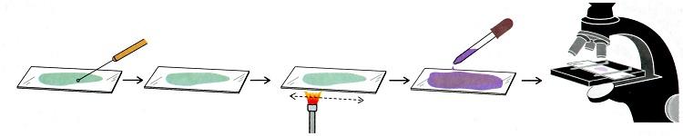 Технология приготовления мазка для микроскопии по граму