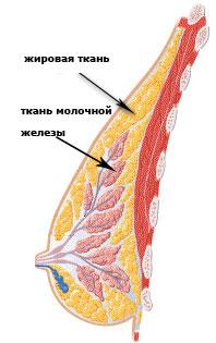 3.1) Развитие тканей груди и помощь при увеличении груди за счет