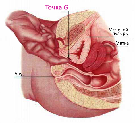 фото клитора женщин у гинеколога